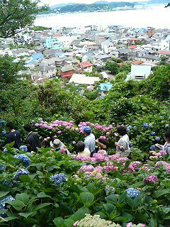 長谷寺で紫陽花鑑賞