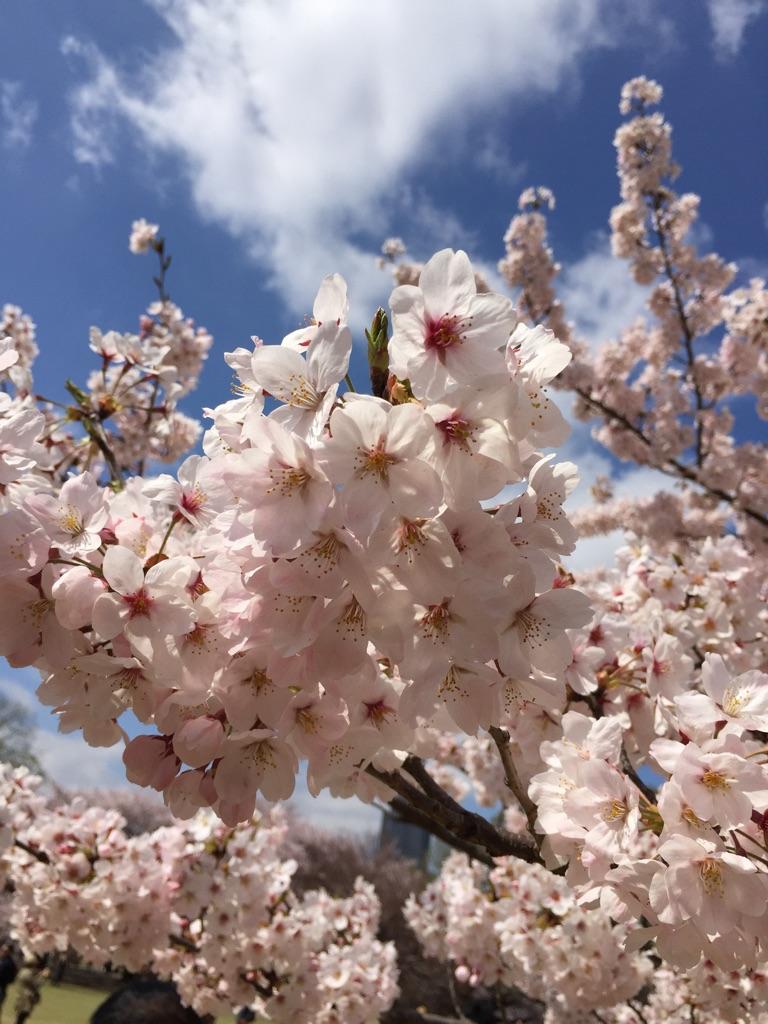 桜満開@新宿御苑