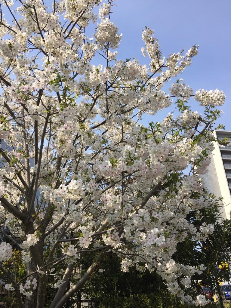 湘南の桜は…